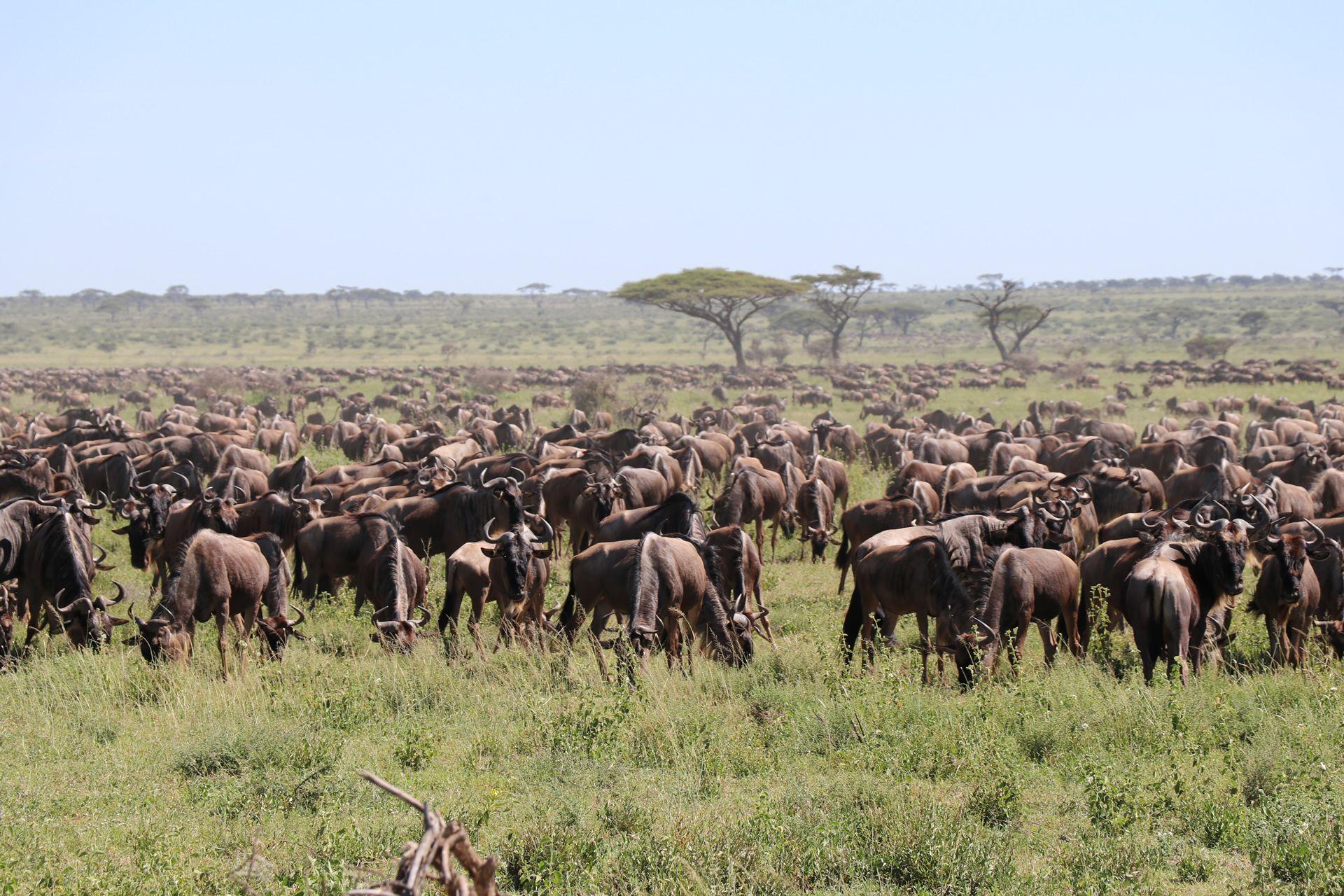Migration Mid-Range Safari